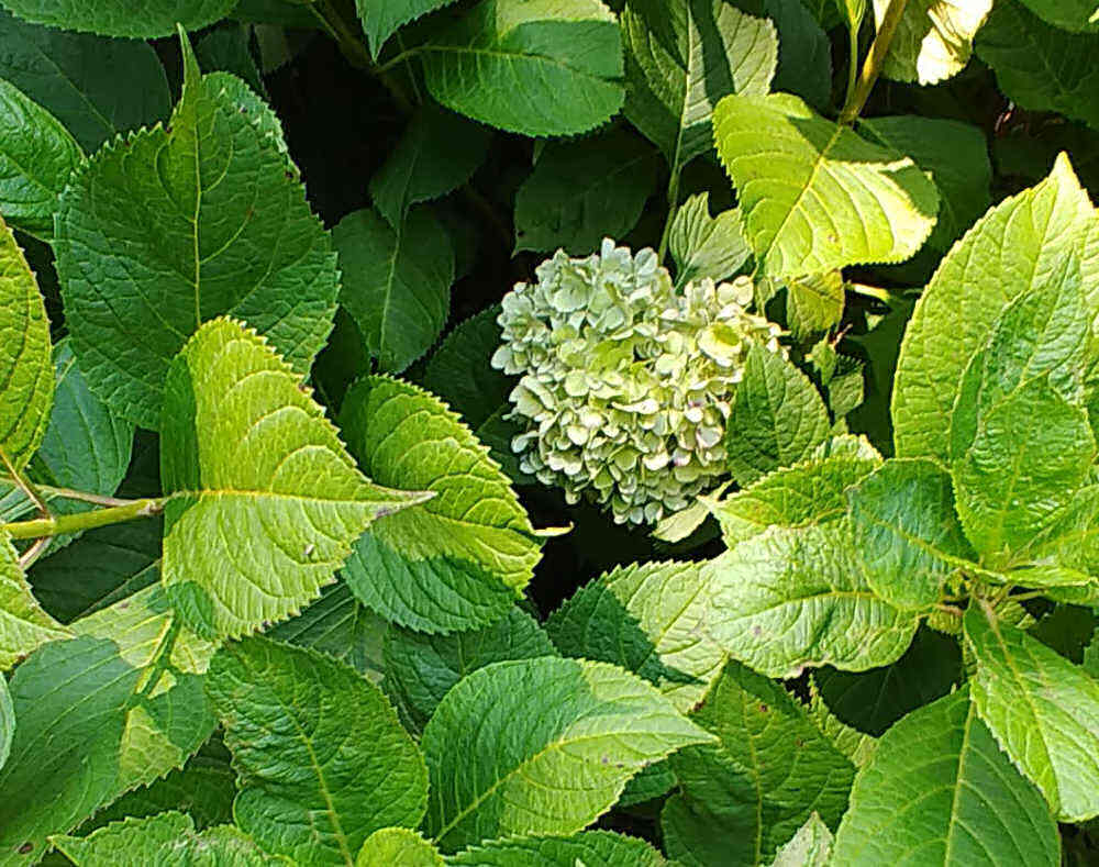 Blue hydrangea flowers get lighter with age.