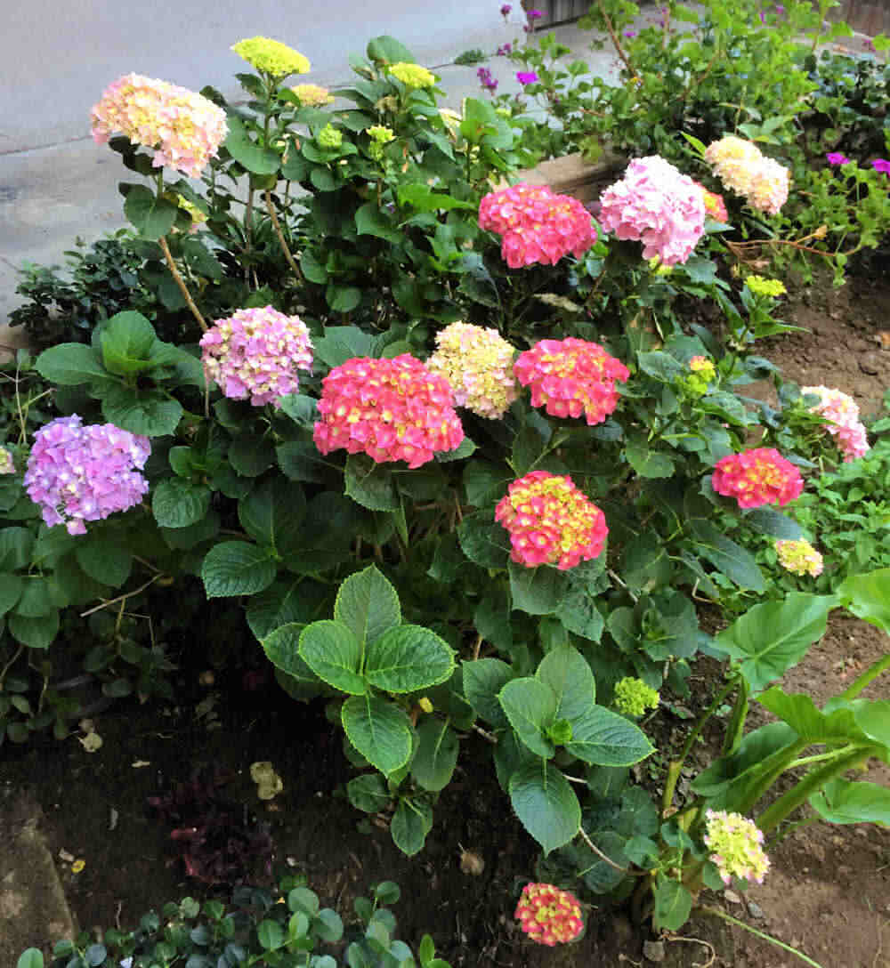 Hydrangea color change - Mixed hydrangea colors in blooms on one bush..