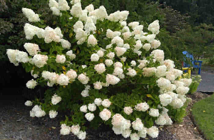 Hydrangea bush with white flowers.