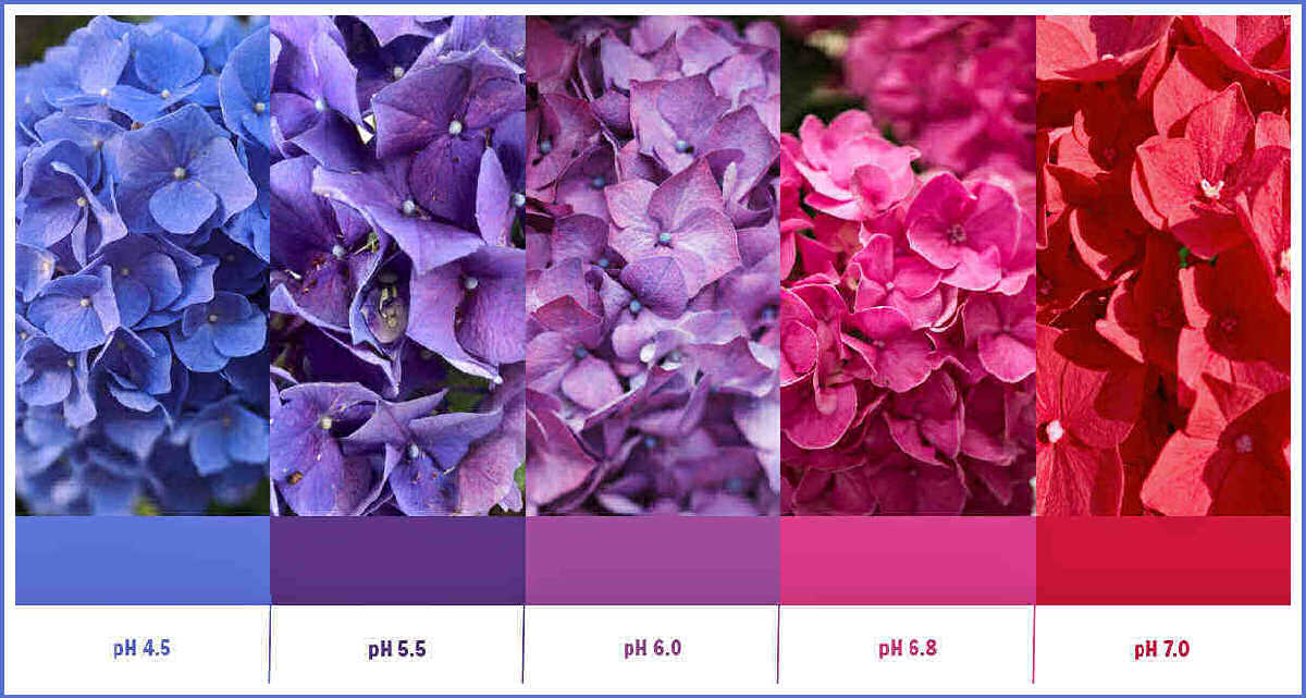 Hydrangea color change - Hydrangea color pH chart showing pH soil levels and colors of hydrangea blooms.