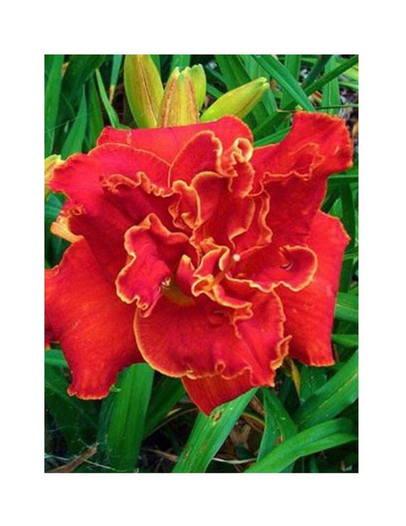 Moses Fire Reblooming Daylily Red Double Day Lily Bare