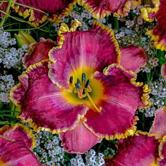Raspberry Eclipse Daylily Hot Pink Day Lily Bare Root Reblooming