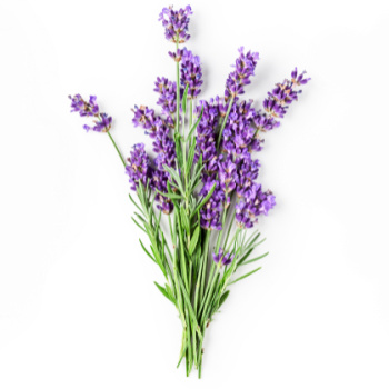 Lavender leaves and flowers.