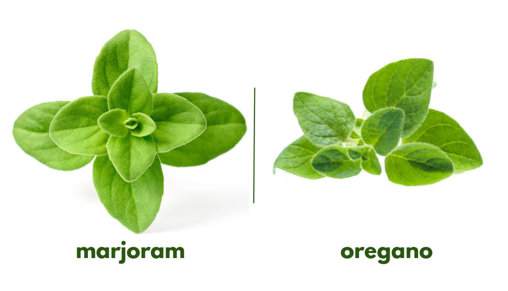 Herb identification can be hard as these Pictures of marjoram and oregano show