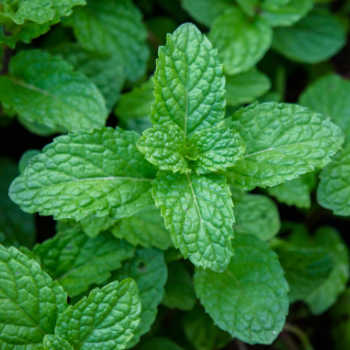 Close up of mint leaves.