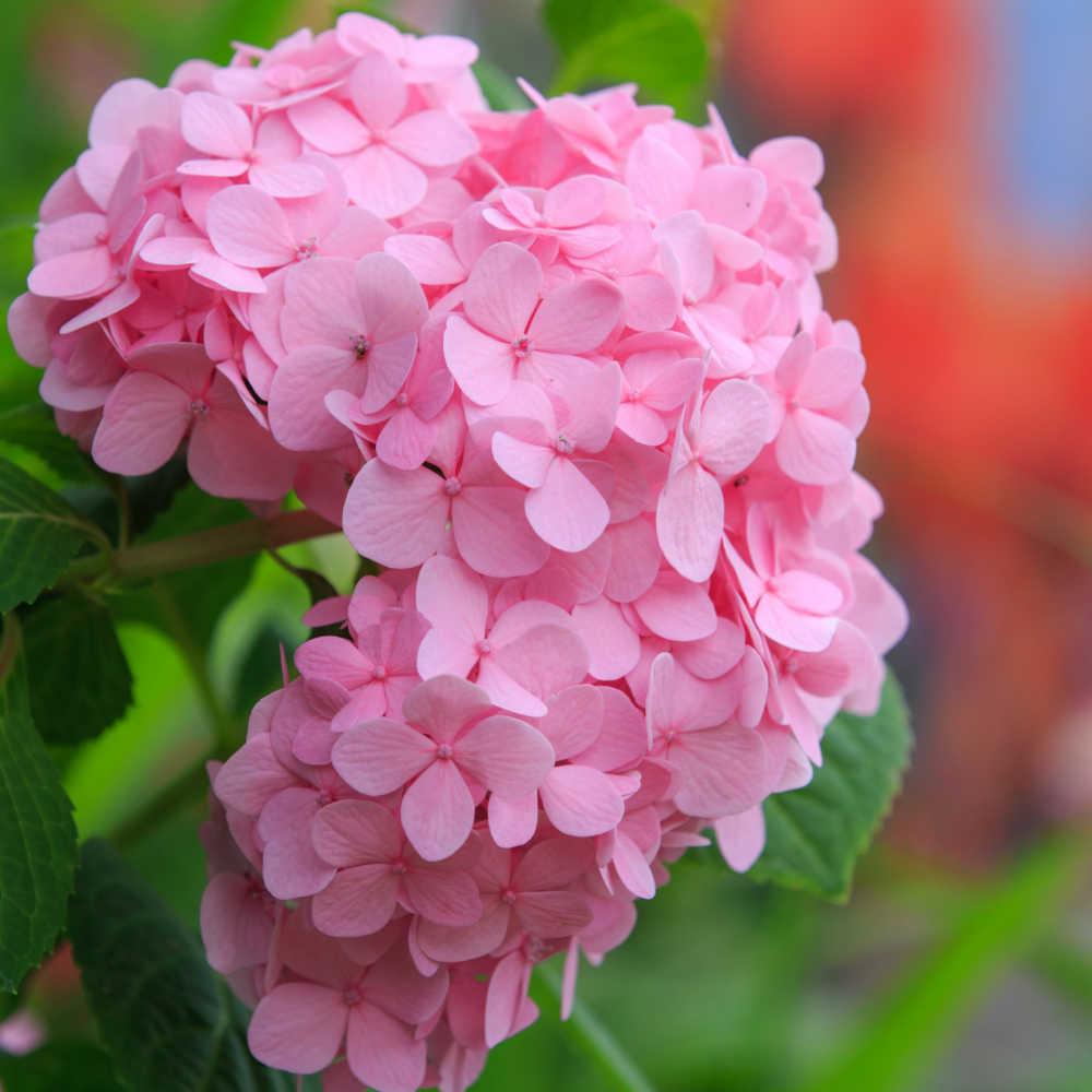 Pink hydrangea flower.
