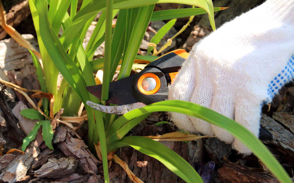 Hand in gardening glove, pruning daylily scape. Final step in deadheading daylilies.
