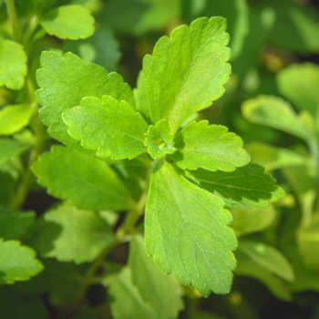 Stevia leaf.