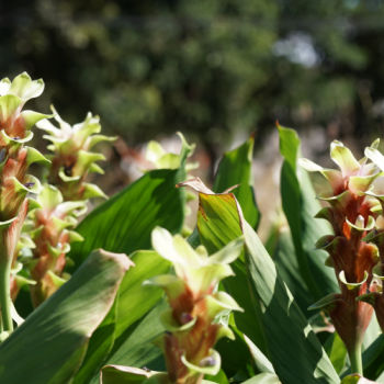 Leaves and flowers of the turmeric plant.