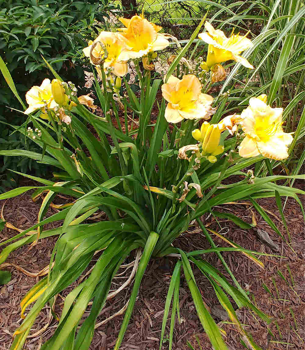 Yellow daylily flowers with some spent flowers.
