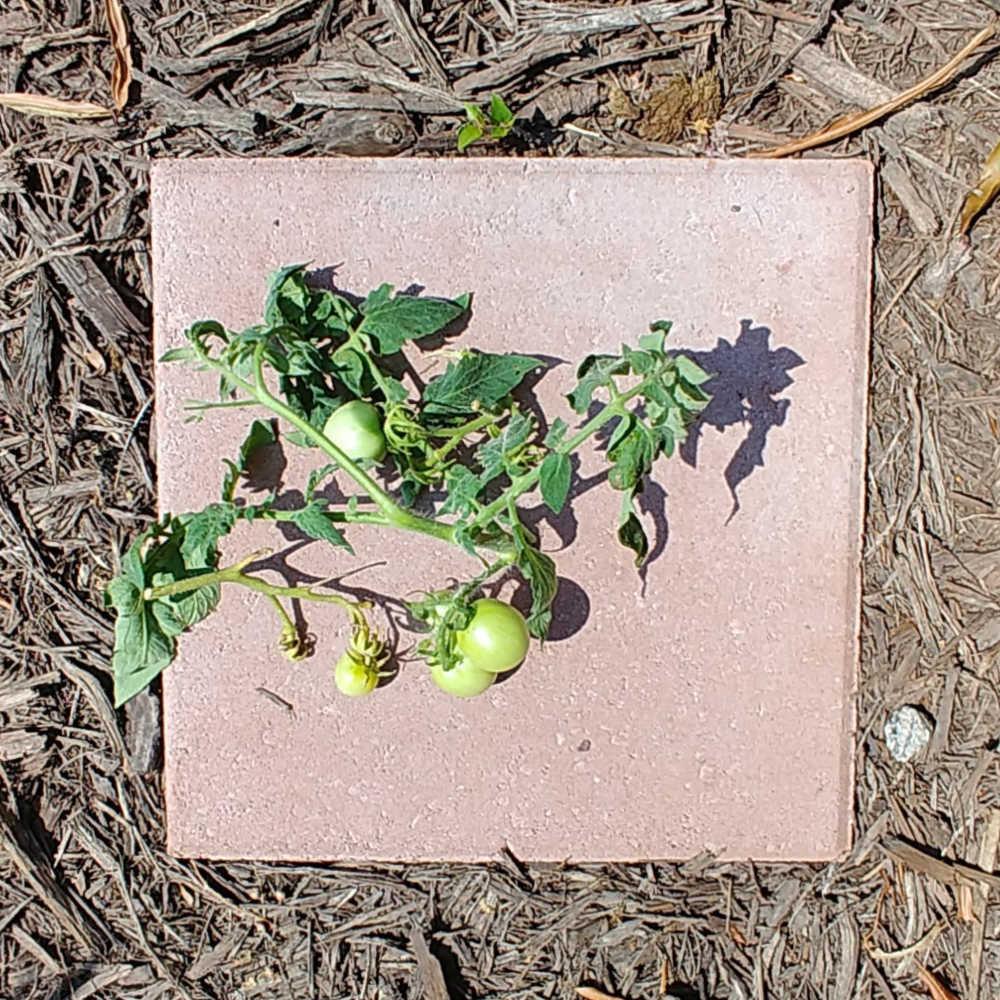 Immature tomatoes cut off a tomato plant.