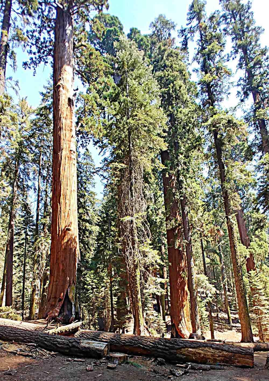 Big sequoia trees in Sequoia National Park.