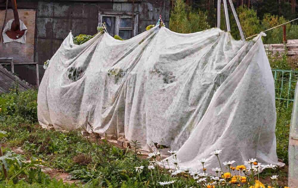 Tomato plants covered with light sheets.