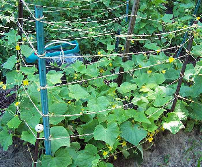 Cage made of metal and jute to support cucumbers.