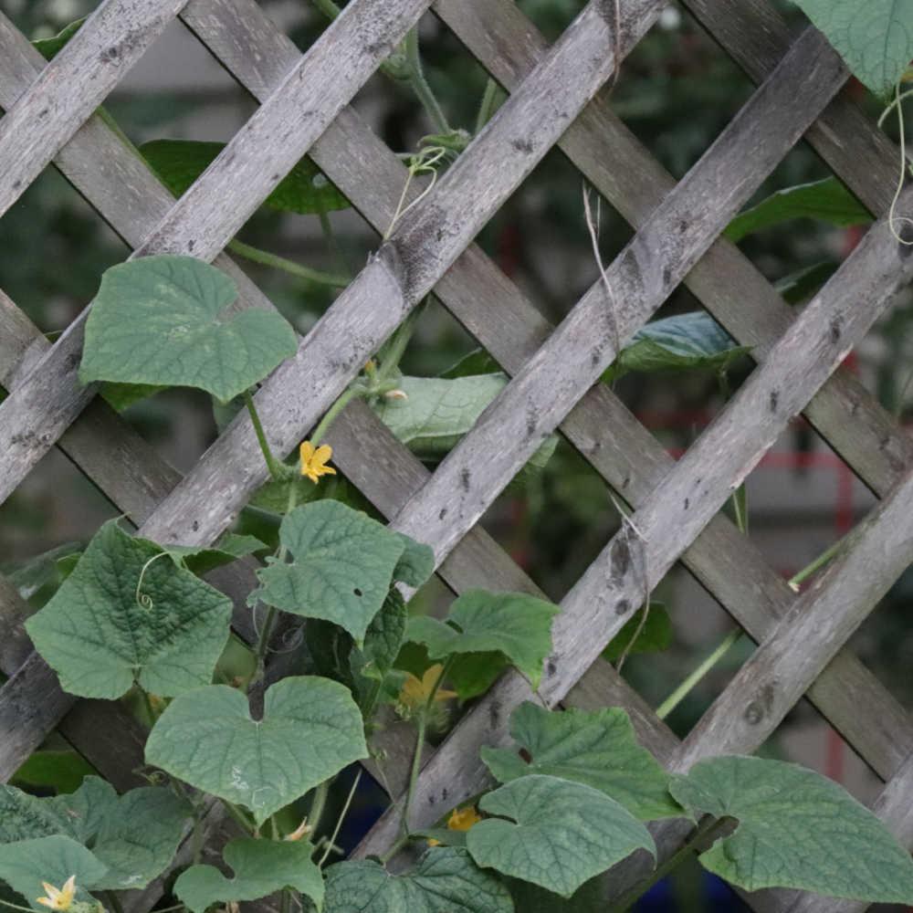 Wooden lattice trellis with cucumber vines climbing it.