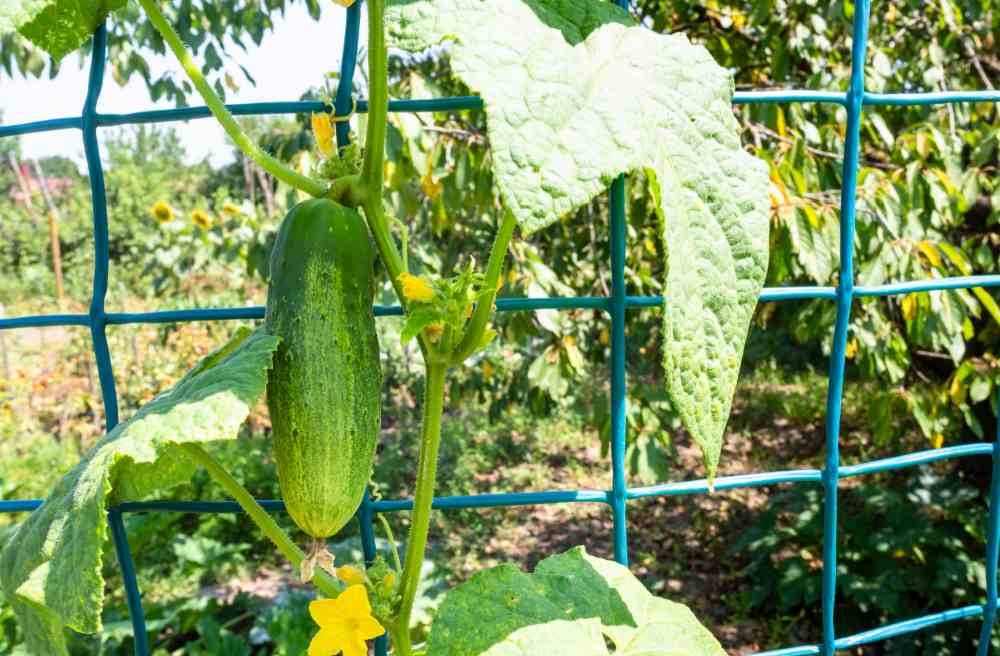Cucumber trellis netting with a ripe cucumber.