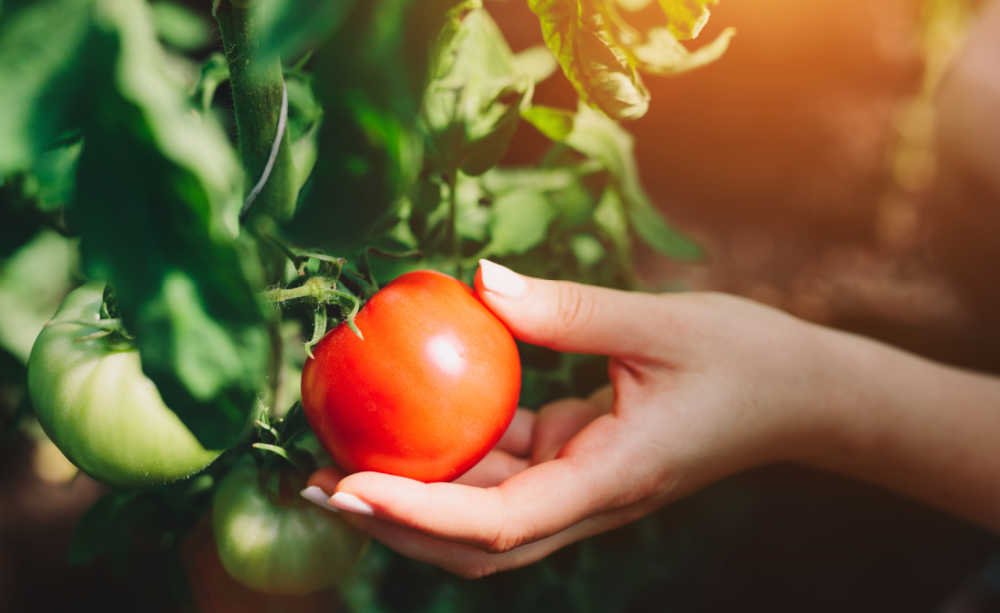 Hand picking a ripe tomato from the vine.