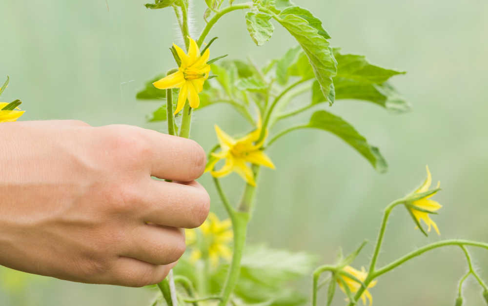 Hand picking tomato plant flowers.
