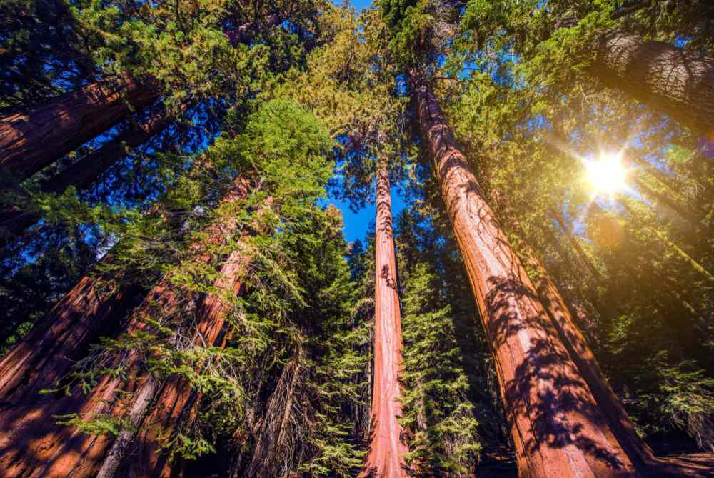 Redwoods in the Sierra Mountains.