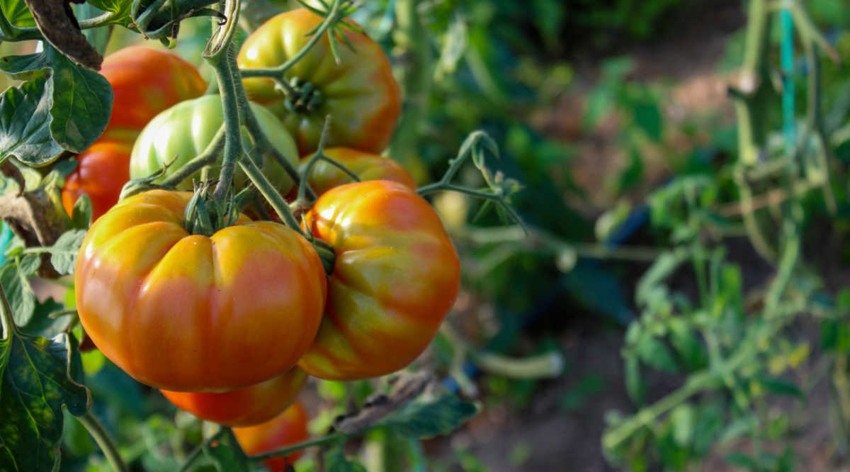 Bunch of tomatoes starting to ripen on the vine.