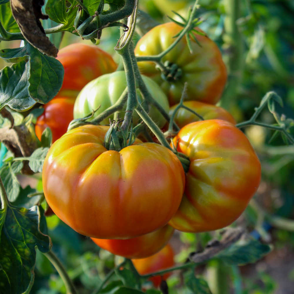 Tomatoes ripening on the vine.