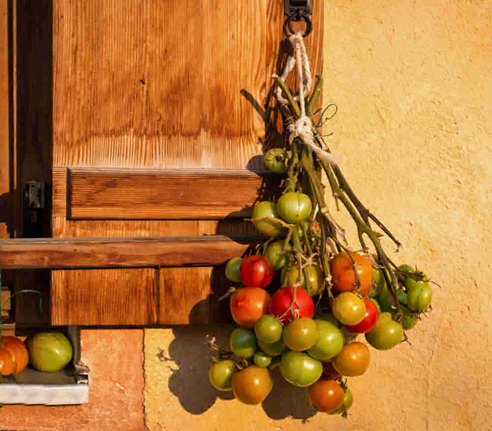 Bunch of green tomatoes on vines hanging upside down.