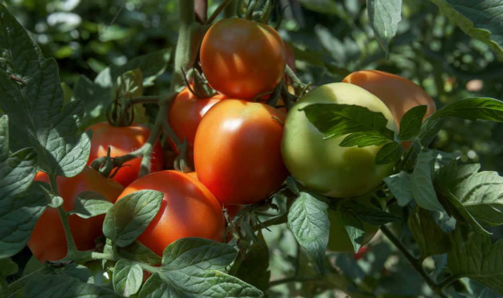 Tomato ripening on the vine in the shade.