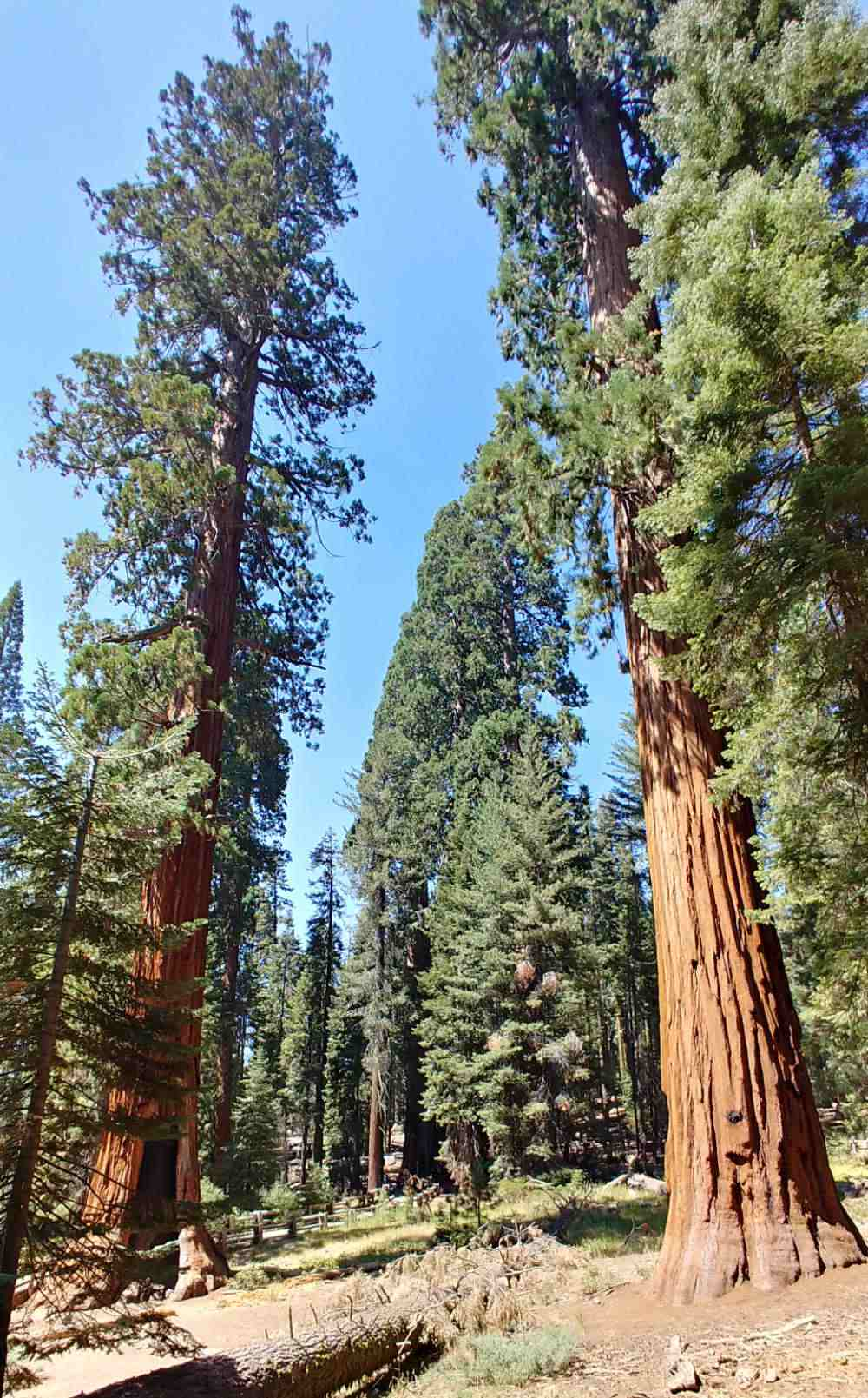 Height of sequoia trees.
