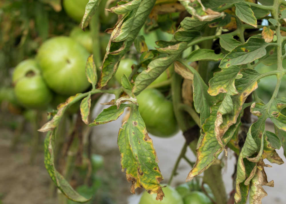 tomato plant with fungus on leaves and green tomatoes.