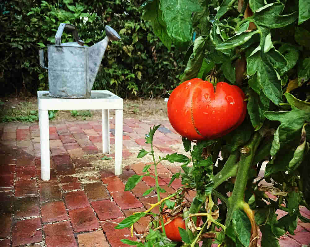 Watering can on a table with tomato plant nearby.