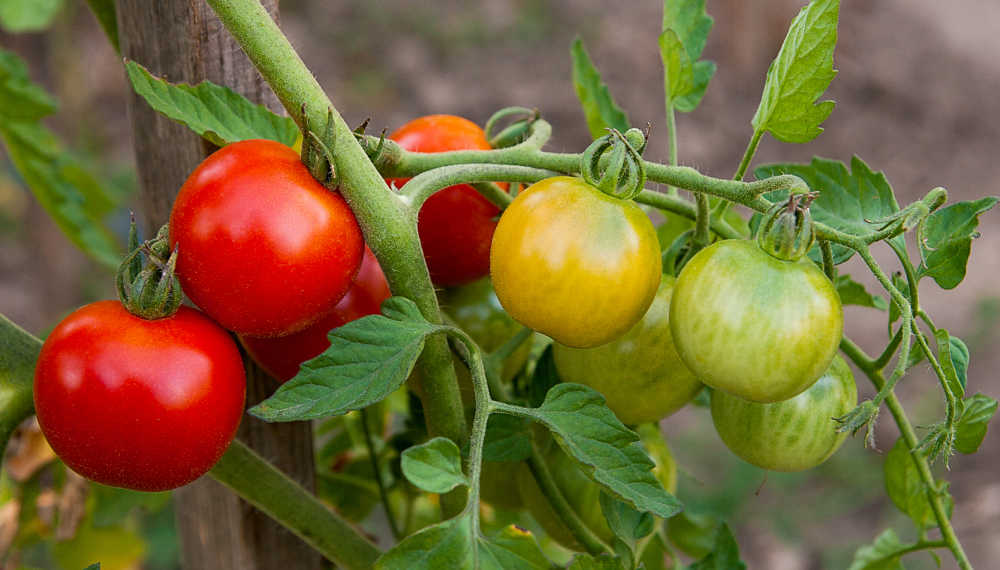unripe and ripe tomatoes on a vine.