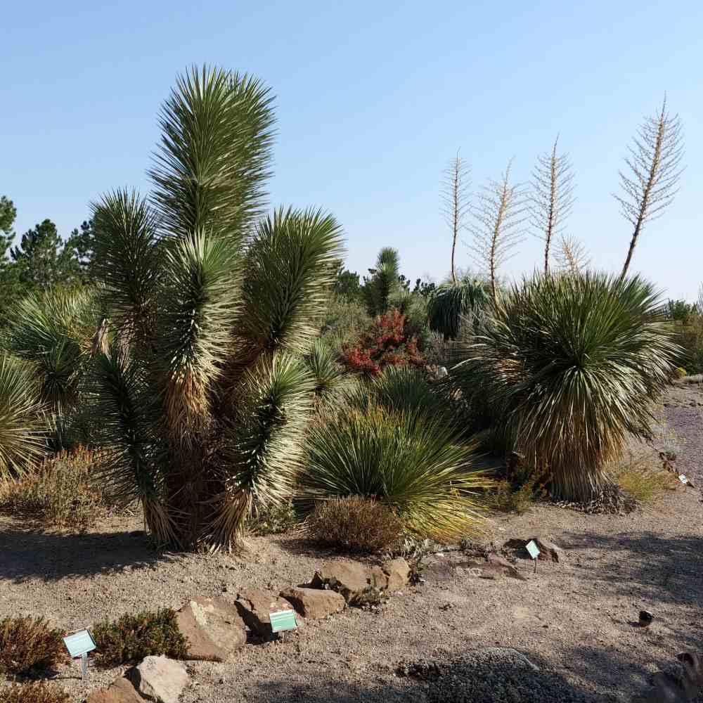Yuccas in Orton Botanical Garden