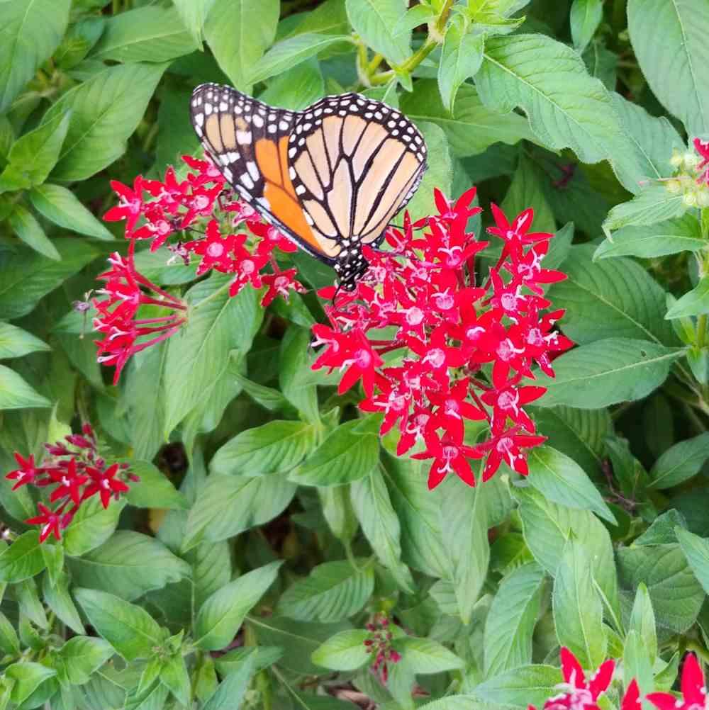 Monarch butterfly feeding on pink pentas flowers.