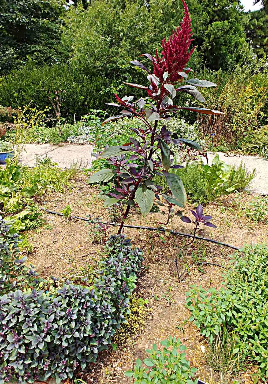 Basil plant with a huge flower stalk.