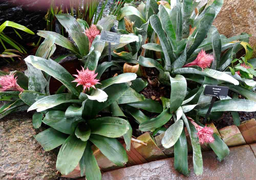 Tropical bromeliad in flower.