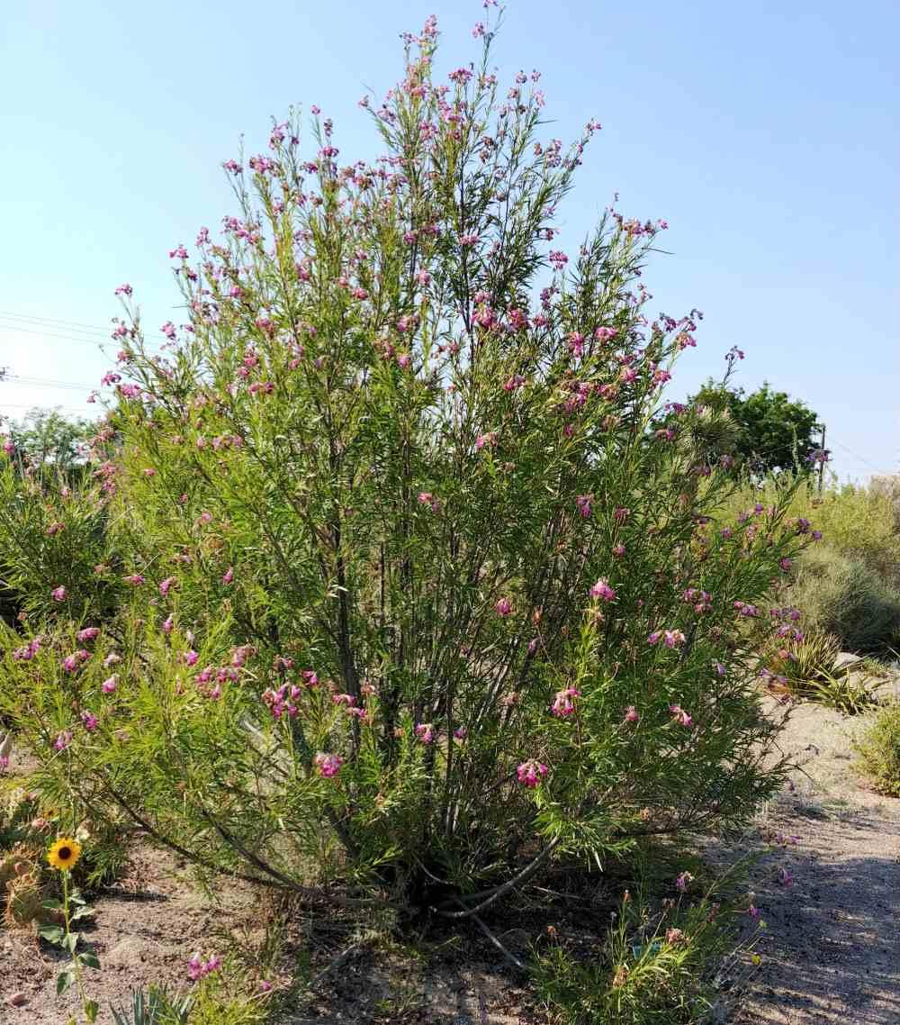 Blooming desert willow shrub.