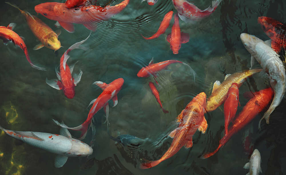Koi fish in a pond.