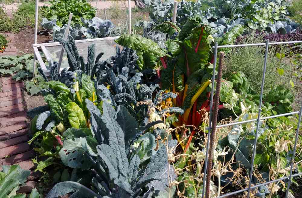 Large rainbow Swiss chard in a vegetable garden.