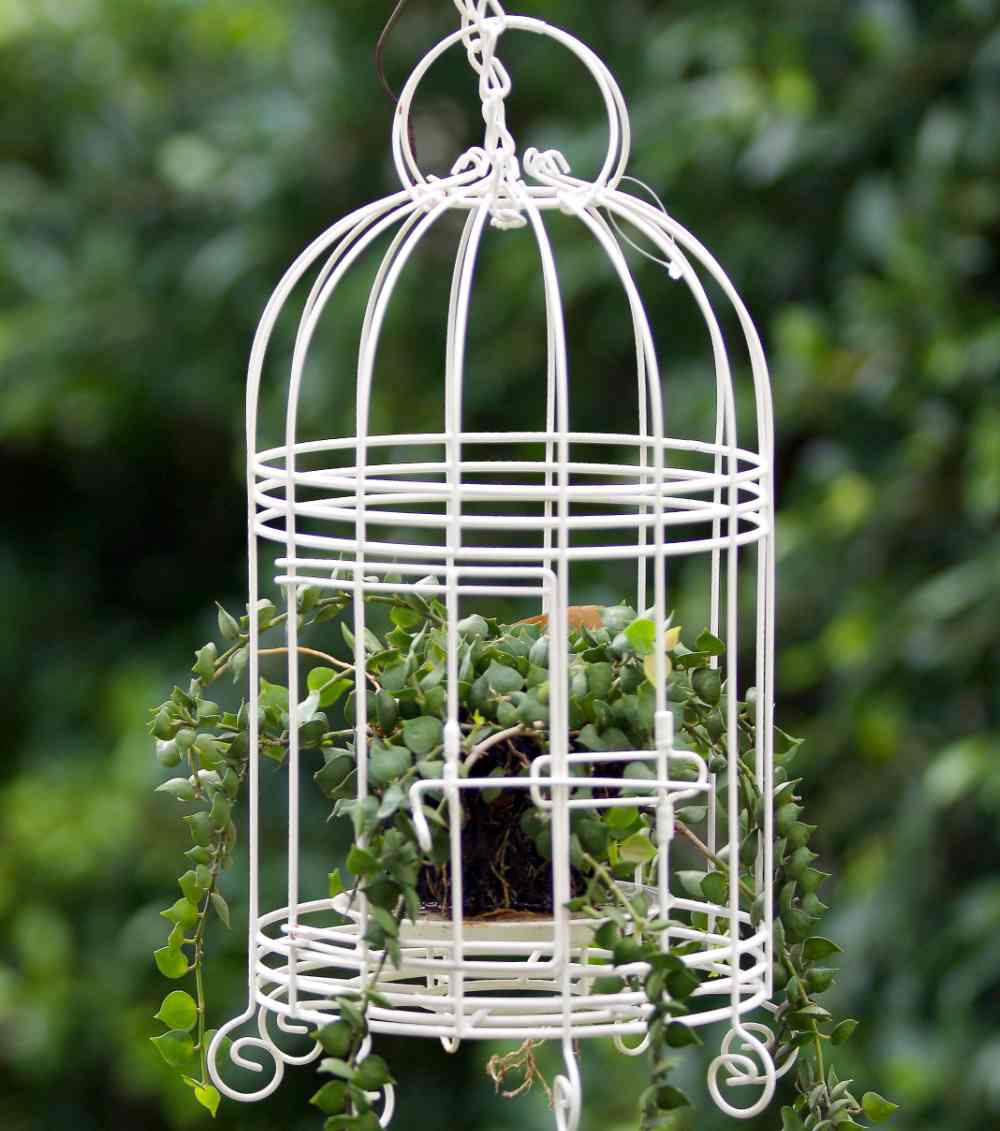 Single plant in a white bird cage hanging outdoors.
