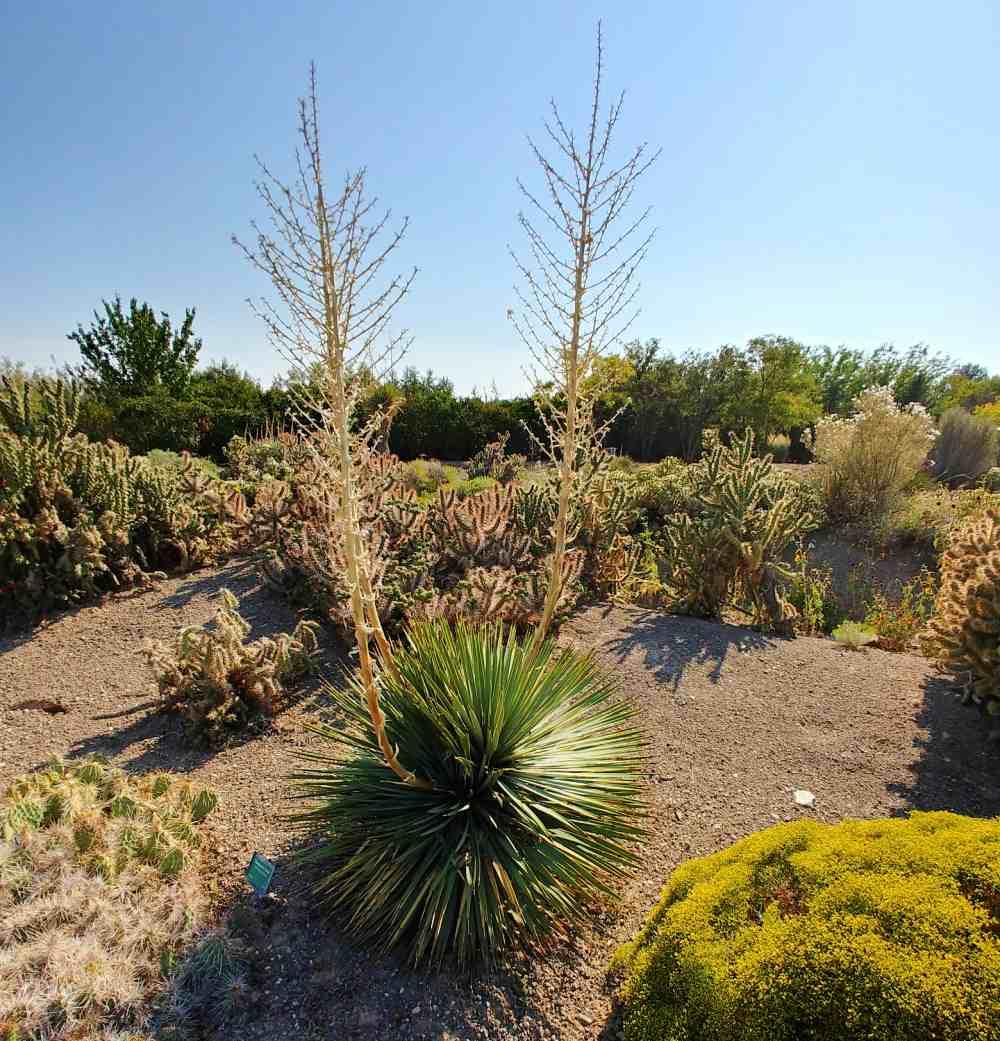 Yucca with flower stalks in Orton Botanic Garden.
