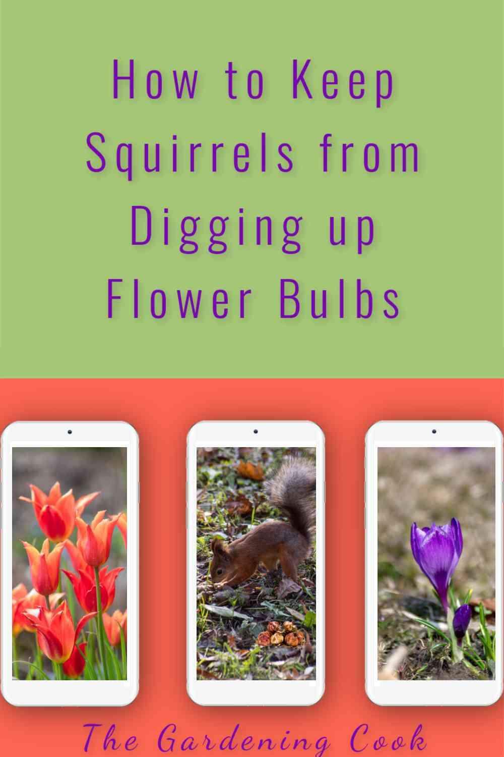 Phones with images of tulips, crocus and squirrel digging in garden with words How to Keep Squirrels from Digging up Flower Bulbs.