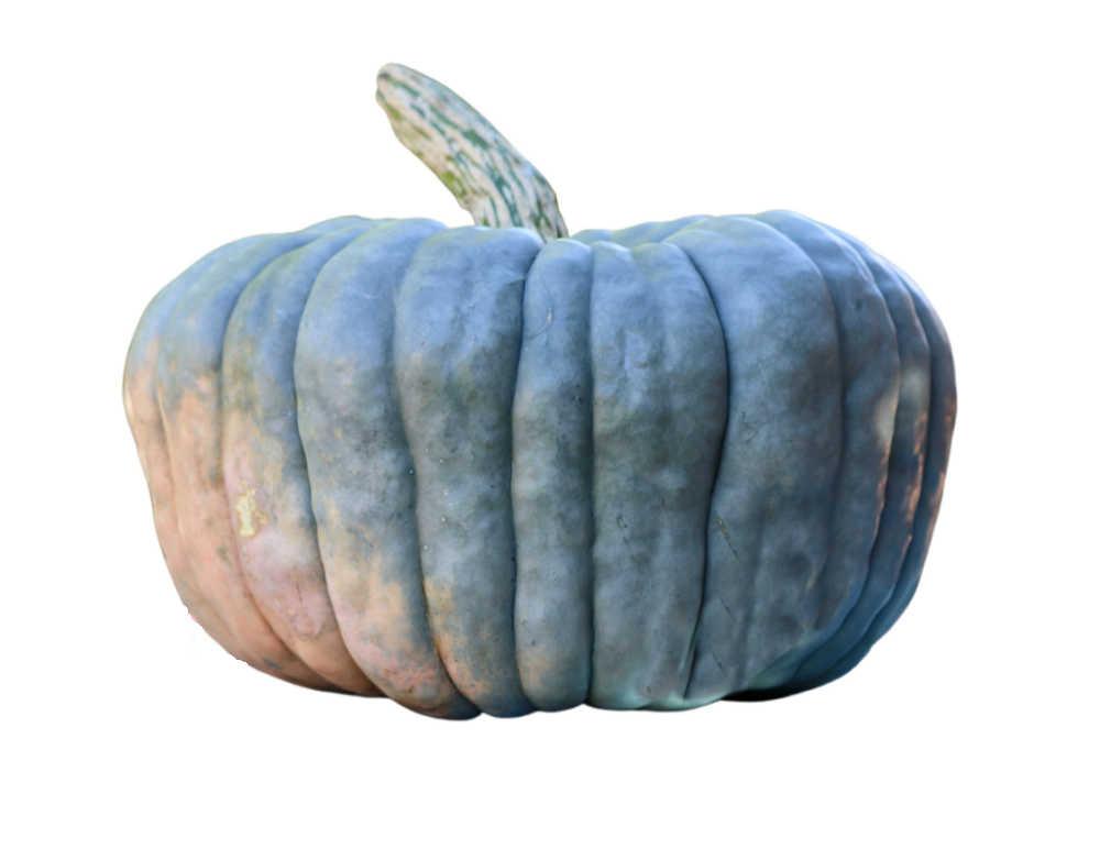 Blue Cinderella pumpkin on a white background.