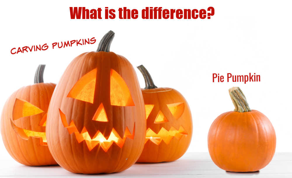 Three carved pumpkin and one small pumpkin with words Carving pumpkins, pie pumpkin - What is the difference?
