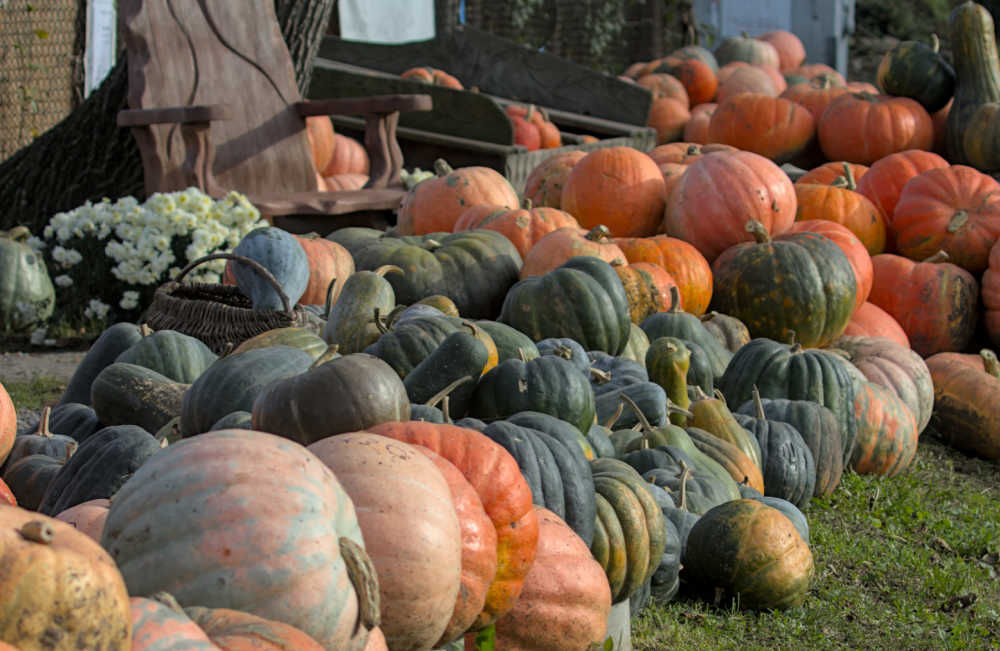 PUmpkin patch with all types of pumpkins for carving and eating.