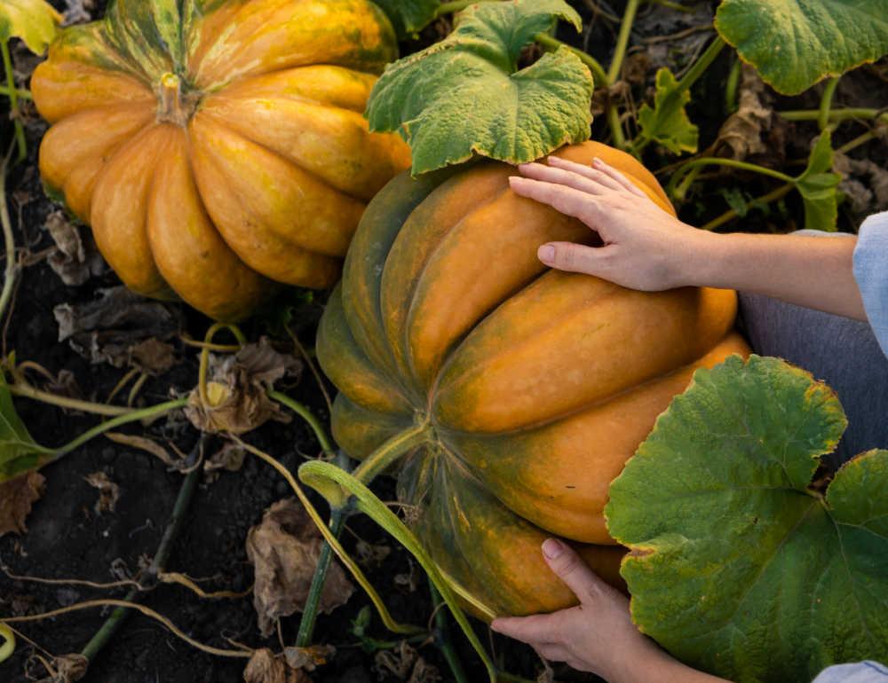 Hands inspecting pumpkins in a pumpkin patch.