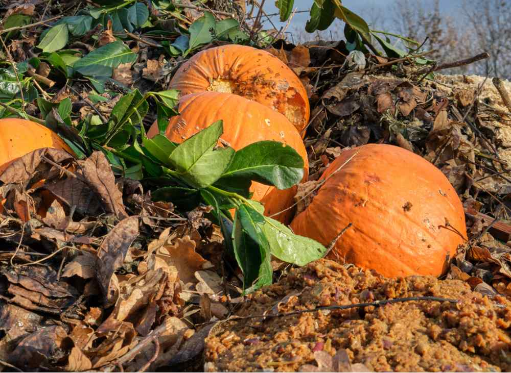 Old rotting pumpkins on a compost pile.