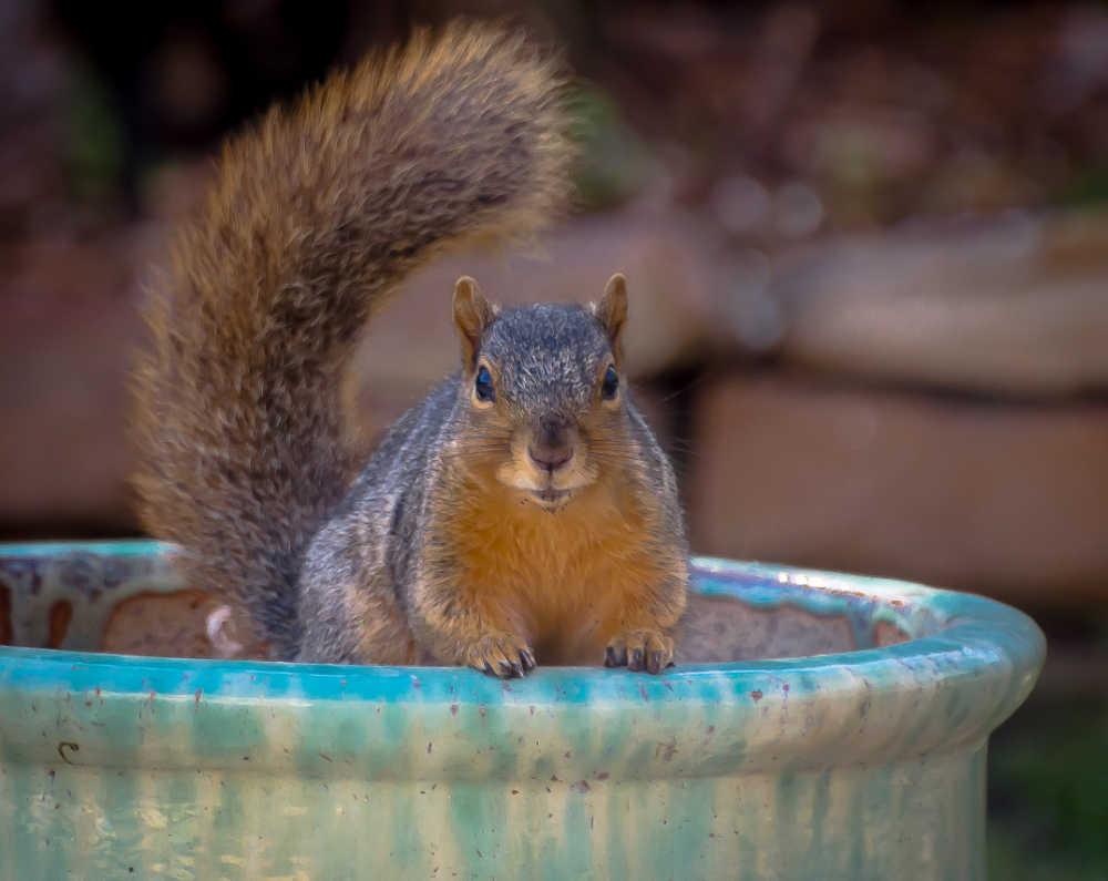 Squirrel sitting in a flower pot.