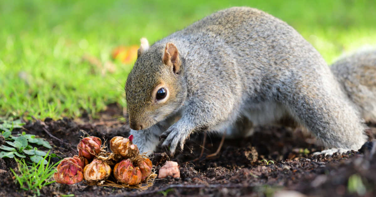 Squirrel digging in a garden and a pile of dug up bulbs.