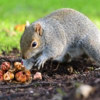 Squirrel digging in a card and a pile of bulbs.